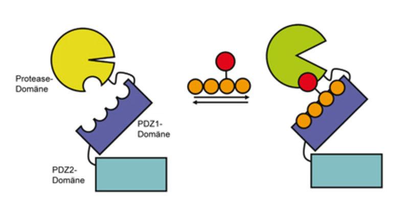 Schematische Darstellung der Aktivierung der HtrA-Protease DegP Peptidische Aktivatoren binden C-terminal an die PDZ1-Domäne, eine Interaktion der vor