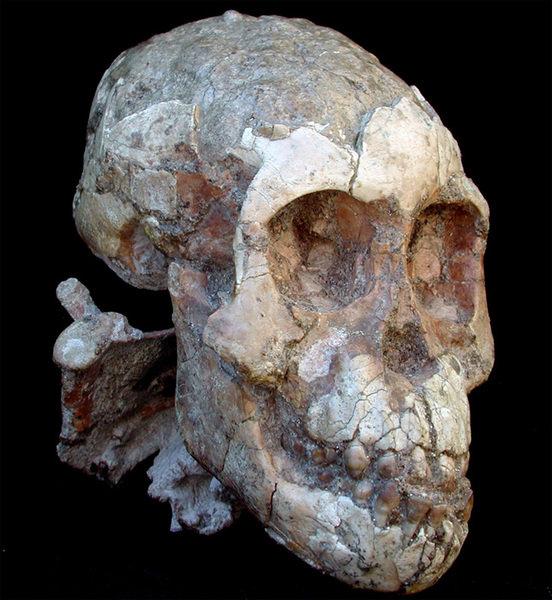Der Schädel des Australopithecus afarensis-Kindes