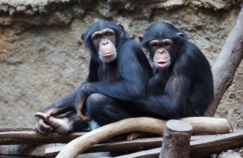 """""""Können wir helfen?"""" Auch unsere evolutionär nächsten Verwandten zeigen Altruismus."""