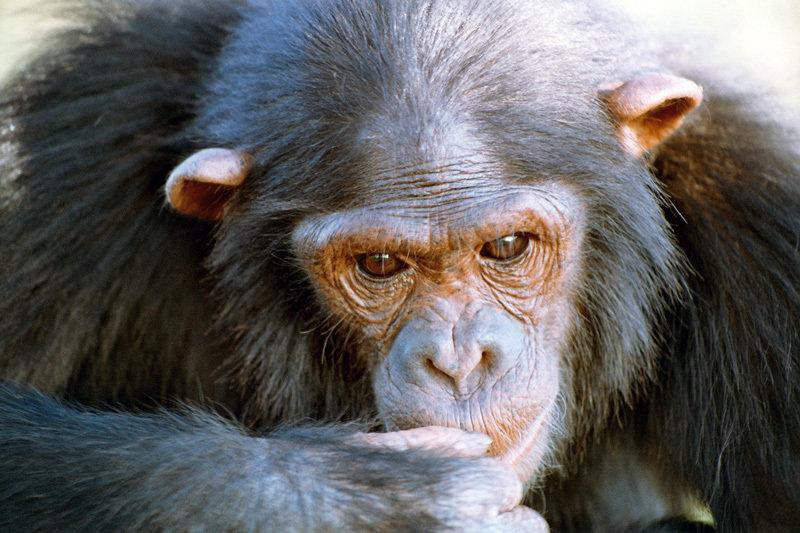 Schimpansen kooperieren geschickt miteinander. Sie erkennen, wann sie Hilfe brauchen und wer für sie dann der effektivste Partner ist.