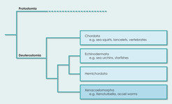 Modified phylogeny: The Xenacoelomorpha represent the fourth phylum of the deuterostomia.