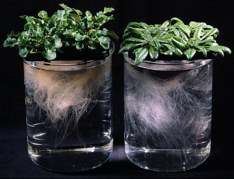 """Die """"Metallsammel-Pflanze"""" Arabidopsis halleri (links) und die genetische Modellpflanze Arabidopsis thaliana (rechts). Die Pflanzen sind 5 Wochen alt"""