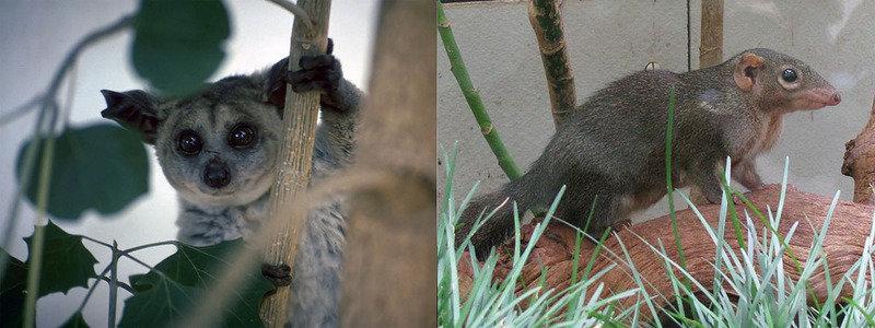 Die Vorfahren von Spitzhörnchen (rechts) und Buschbaby (links) gehen seit 65 Millionen Jahren getrennte Wege. Dennoch gleichen sich Details ihrer Sehr