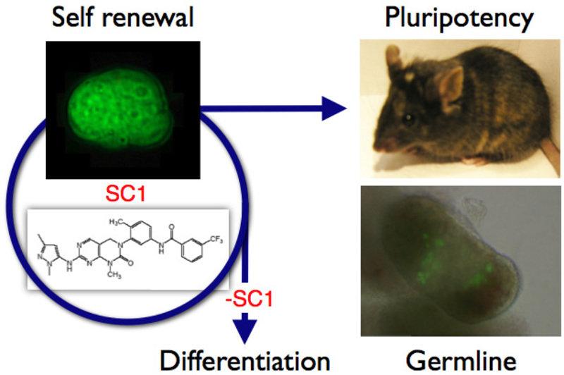 Stammzellen, die sich auf diese Weise erneuert haben, bleiben pluripotent und eignen sich, chimäre Mäuse zu erzeugen.