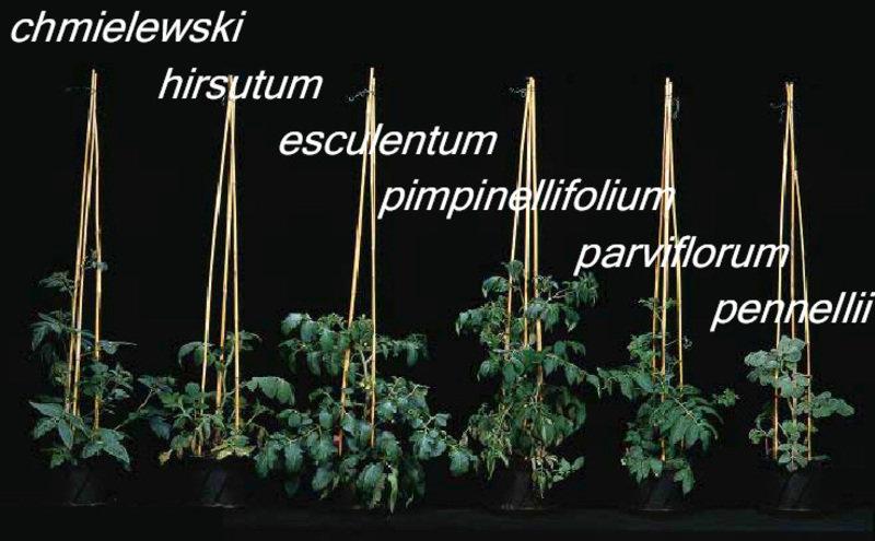 Sechs Wochen alte Pflanzen von verschiedenen Wildtomaten-Arten.