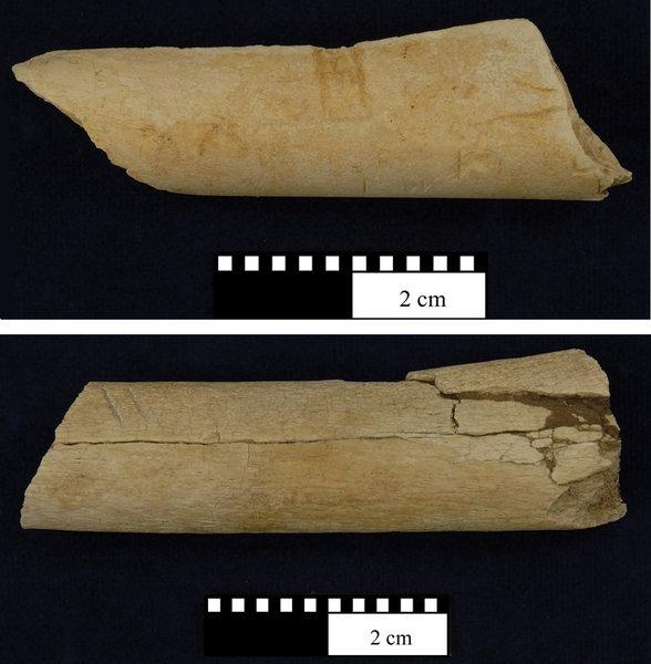 An den beiden Knochen, die in Dikika, Äthiopien, gefunden wurden sind deutlich Schnitt- und Schlagspuren zu erkennen.