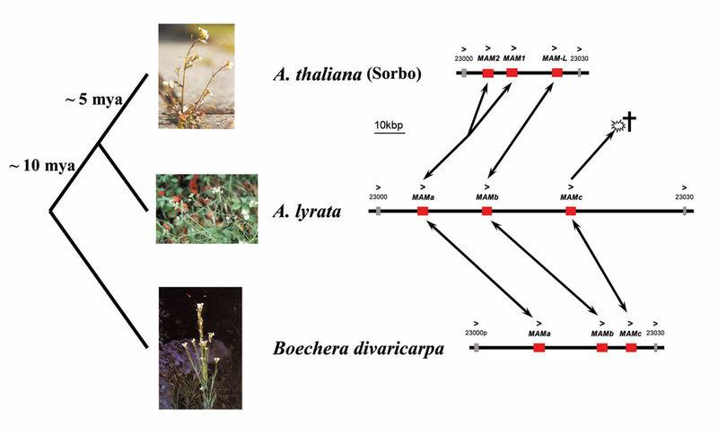 Evolutionäre Dynamik der Kreuzblütler am MAM-Genort: Der Stammbaum zeigt die Verwandtschaftsverhältnisse zweier Arabidopsis- und einer Boechera-Art so
