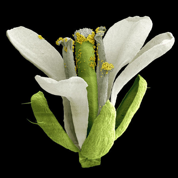 Rasterelektronenmikroskopische Aufnahme einer Blüte der Ackerschmalwand, Arabidopsis thaliana