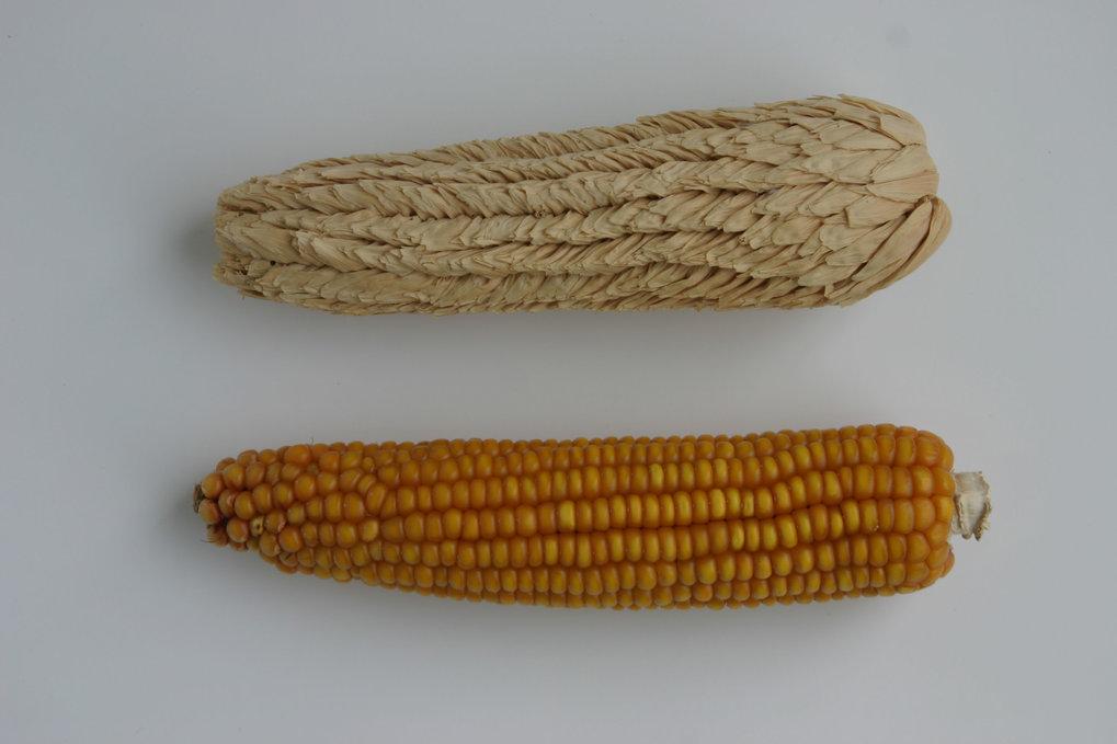 Während die reifen Körner beim Wildtyp-Mais (unten) nackt auf dem Kolben sitzen, sind sie beim Spelzmais (oben) einzeln in blattartige Organe gehüllt.