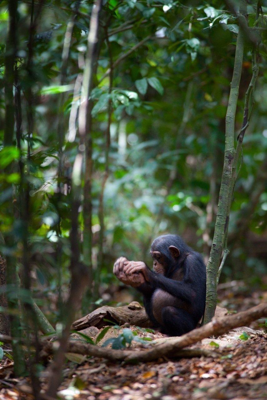 Schimpanse beim Nüsseknacken mit einem Steinhammer.