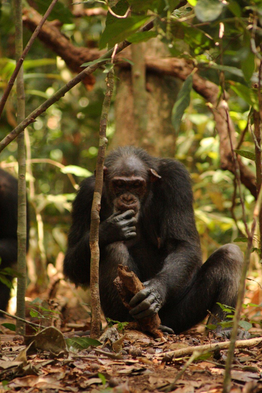 Schimpanse beim Nüsseknacken mit einem Holzhammer