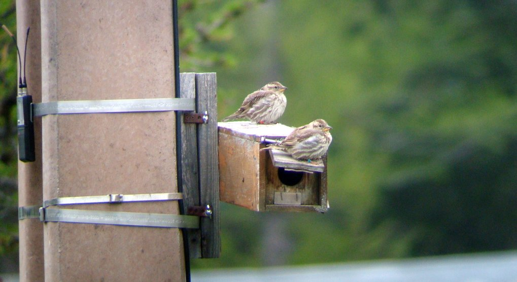 Hopefully, these two have no problems with infidelity: a rock sparrow couple enjoying their nestbox home. Researchers have now found out that males wh