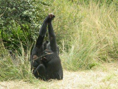 Die Schimpansen einiger Populationen geben sich die Hand während der Fellpflege.