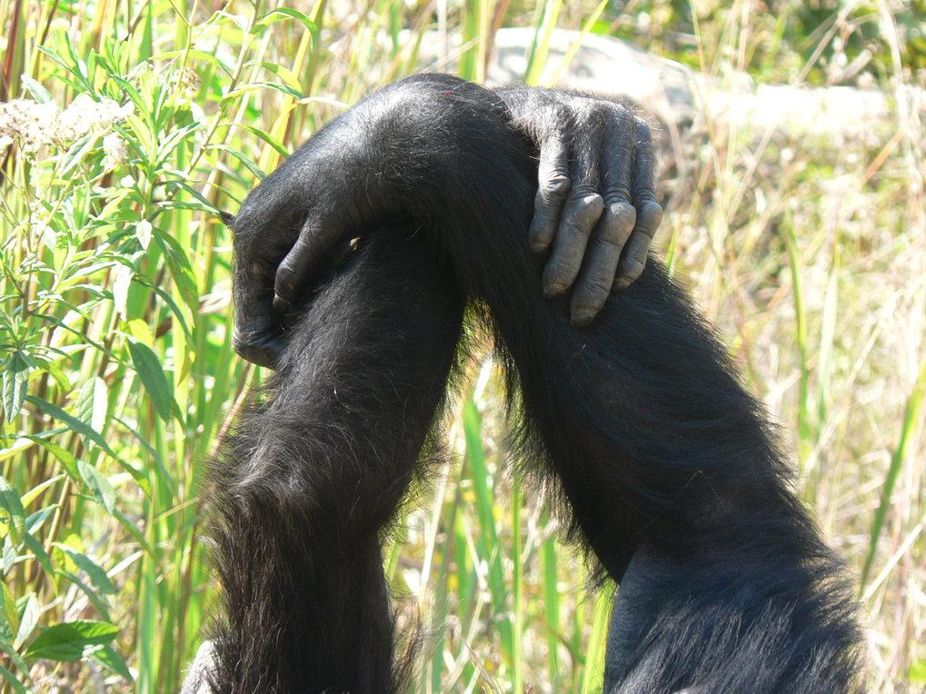 Andere Schimpansen-Gruppen bevorzugen das Umklammern des Handgelenks.