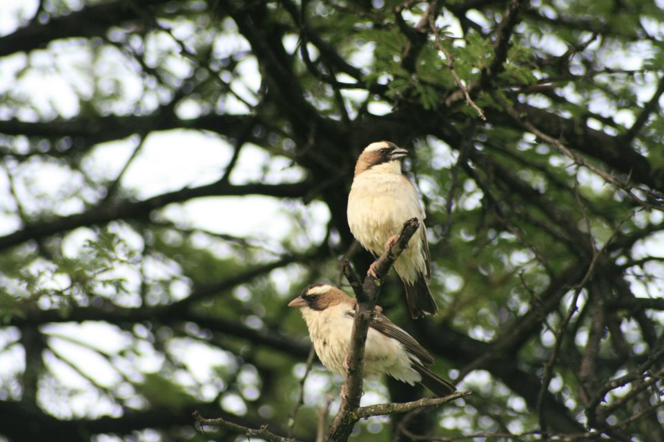 A pair of white-browed sparrow weavers. In these African songbirds, which live in status-dependent groups, it is the dominant males that call the tune