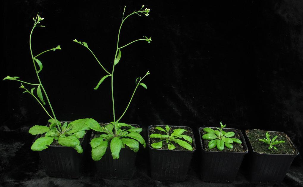 Die Ackerschmalwand, Arabidopsis thaliana.