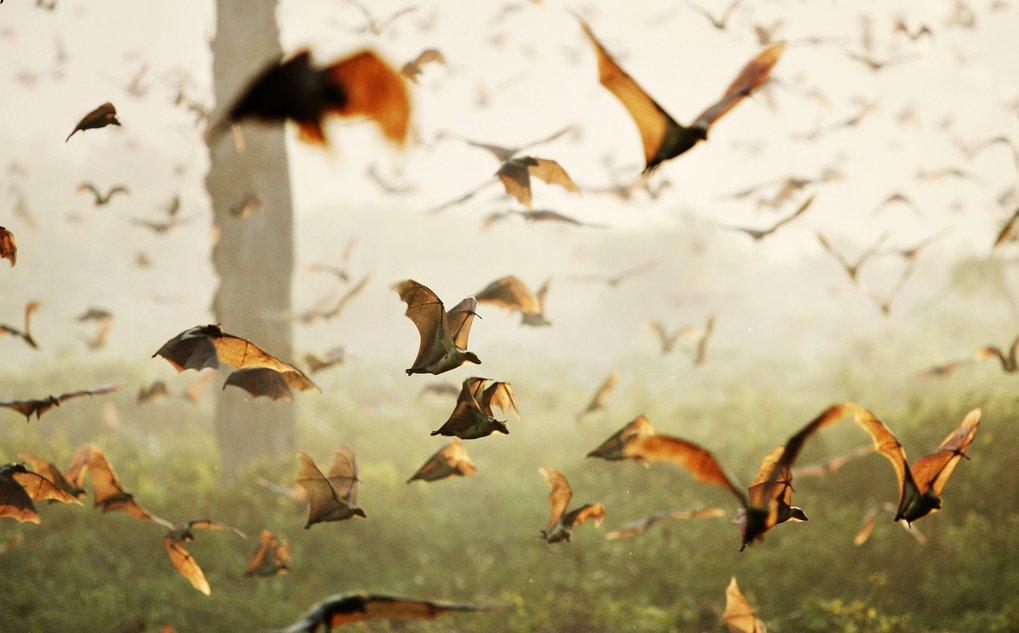 Im Kasanka-Nationalpark in Sambia landen jeden Oktober Millionen von Flughunden, bevor sie im Dezember wieder weiterziehen. Nur mithilfe von Mini-Flug