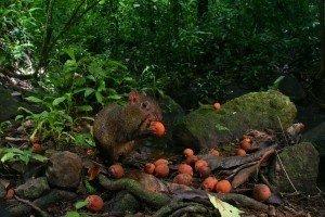 Für Agutis in Zentral- und Südamerika sind Paranüsse eine Delikatesse. Die Nager sammeln und graben die Nüsse als Vorrat für die Regenzeit wiederholt