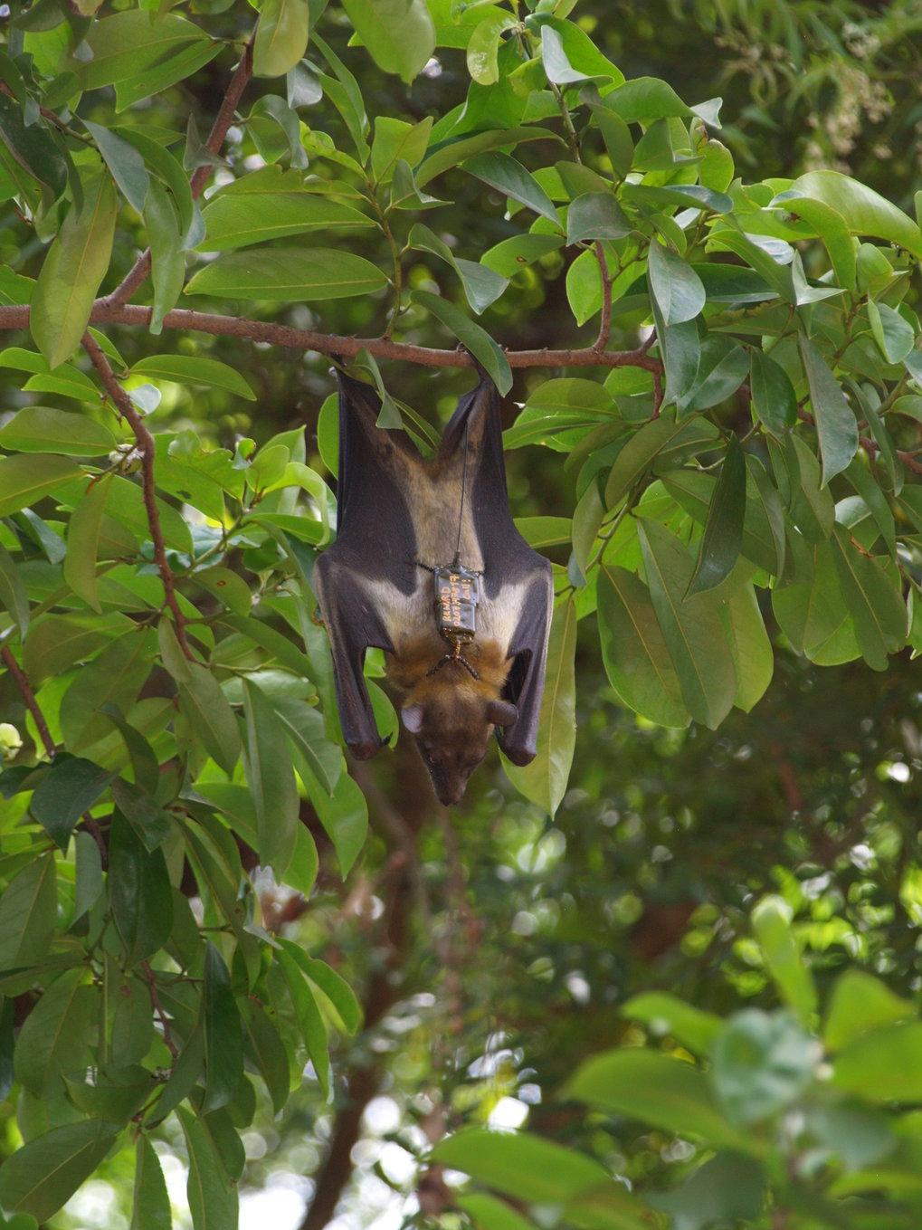 Der Palmenflughund verbreitet die Samen von Tropenbäumen über weite Strecken.