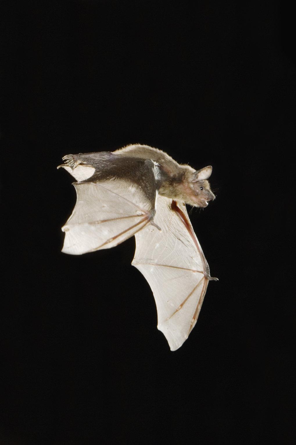 Kleiner Abendsegler (Nyctalus leisleri). Abendsegler sind nachtaktiv und beginnen ihre Jagdflüge bereits kurz nach Sonnenuntergang. Im Herbst fliegen