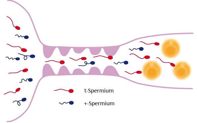 <strong>Abb. 1:</strong> Wettbewerb von Spermien um die Befruchtung von Eizellen. Tiere, die ein t-Haplotyp- und ein normales Chromosom 17 tragen, pro