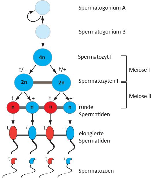 <p><strong>Abb. 2:</strong> Schematische Darstellung der Spermatogenese. Tiere, die ein t-Haplotyp- und ein normales Chromosom 17 tragen, produzieren