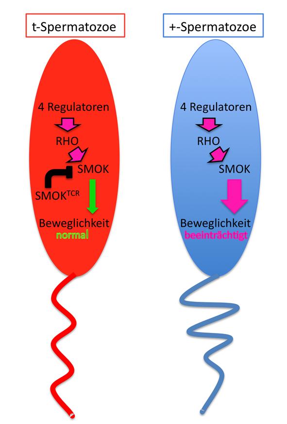 <strong>Abb. 3:</strong>Modell der RHO/SMOK-Signalkaskade in t- und +-Spermatozoen eines t/+-Tieres. Die vier im t-Haplotyp gelegenen Regulatoren von
