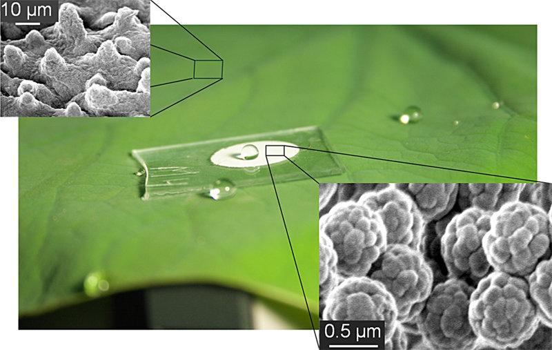 Abb. 1: Superhydrophobes Verhalten des Lotusblattes und einer künstlich hergestellten Beschichtung. Mitte: ein teilweise beschichtetes Glasplättchen.