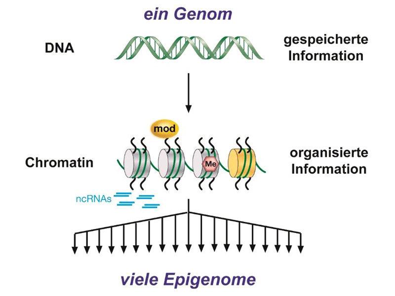 Abb. 1: Ein Genom, aber viele Epigenome. Während jedes Individuum nur ein Genom besitzt, finden sich in den unterschiedlichen Zelltypen viele untersch