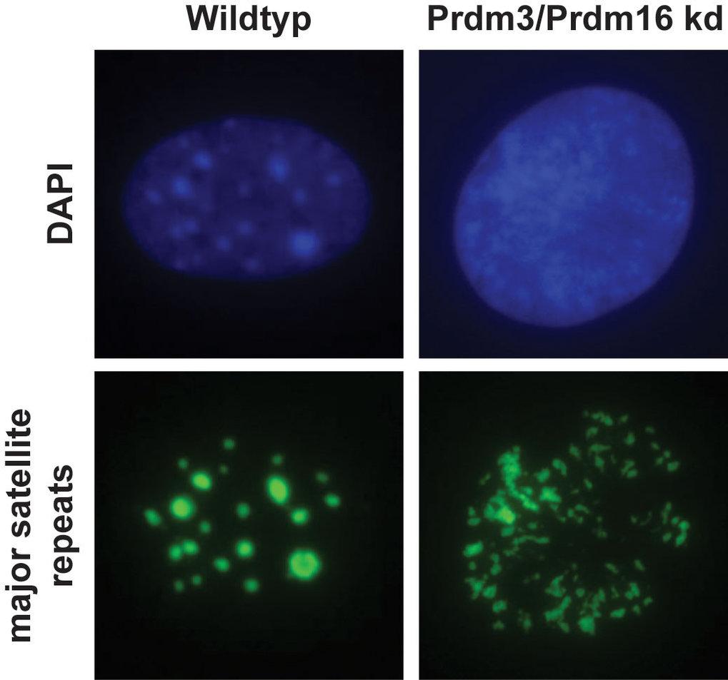 Abb. 3: Ohne Prdm3 und Prdm16 bricht das Heterochromatin zusammen. In Wildtyp-Mausfibroblasten liegt das Heterochromatin in sog. Foci vor. Diese lasse