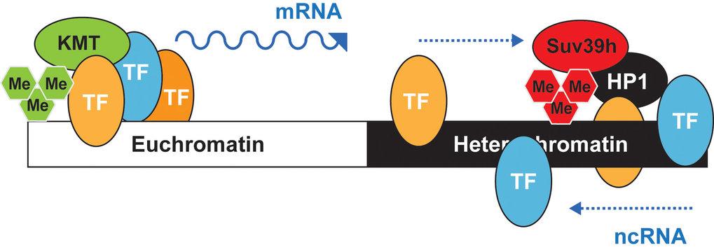 Abb. 4: Ein Transkriptionsfaktor-Modell für Heterochromatin. Im Euchromatin und Heterochromatin sind die Bindungsstellen für Transkriptionsfaktoren (T