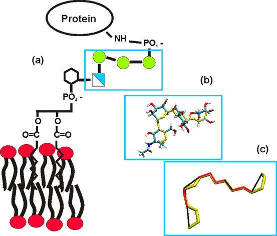 Abb. 1: (a) Schematischer Aufbau eines GPI-Ankers, eingebettet in eine Membran und mit angehängtem Protein. Das Rückgrat, bestehend aus drei Mannosezu