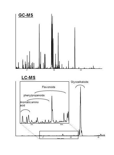 Abb. 2: Chromatogramme der in den Tomatenfrüchten aufgefundenen Inhaltsstoffe. Durch eine Kopplung von Gaschromatographie mit Massenspektrometrie (GC-