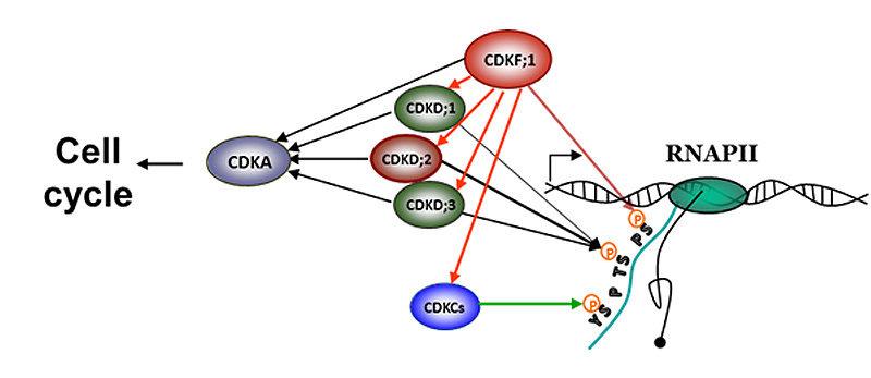 Abb. 1:CDKF;1 ist eine übergeordnete Kinase. Sie phosphoryliert das Serin 7 im repetitiven Heptapetid der RNA-Polymerase II und aktiviert diejenigen