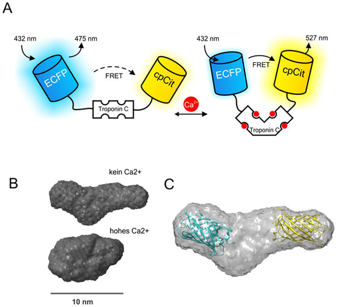 <strong>Abb. 2:</strong> Schema und Struktur. Zu sehen ist ein Schema des Kalzium-Biosensors TN-XXL (A) und eine Struktur des Sensorproteins, die durc