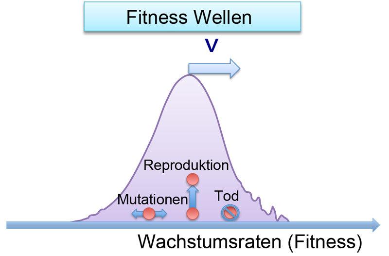 """Abb. 1: Ein Musterbeispiel für verrauschte Ausbreitungsprozesse sind """"Fitness"""" Wellen, die in einfachen Modellen der Evolution auftreten. Die farbigen"""