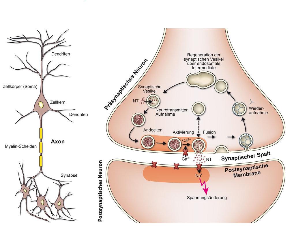 <strong>Abb. 1:</strong> Schematische Darstellung einer Nervenzelle und einer Synapse. NT, Neurotransmitter.