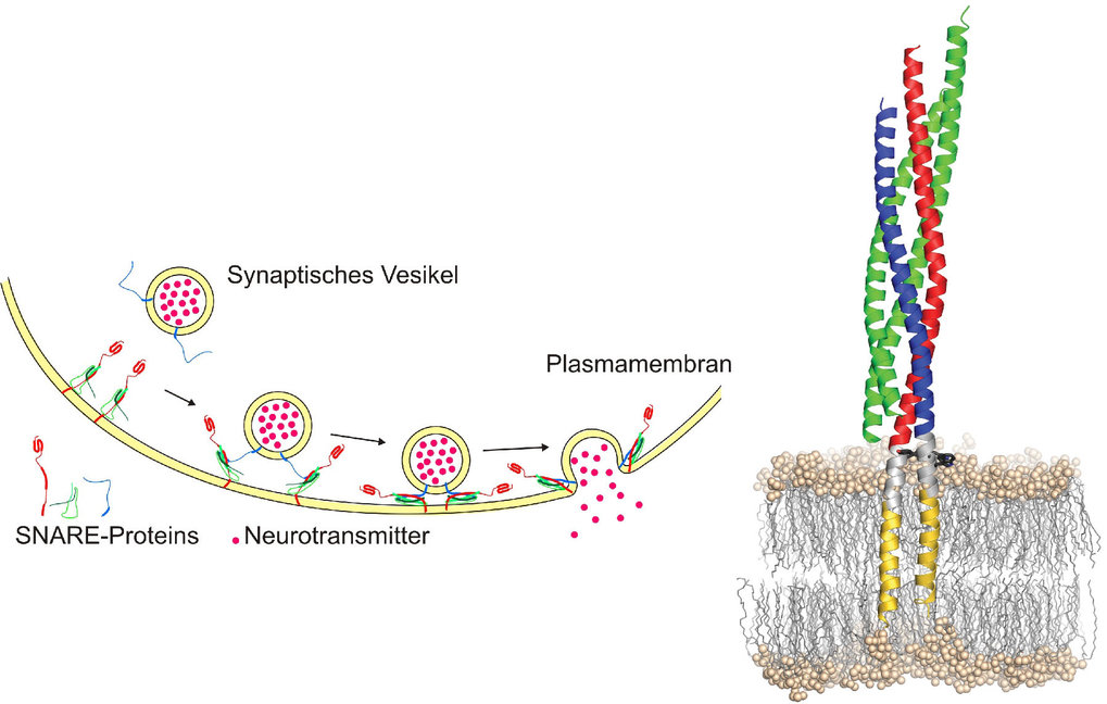 <strong>Abb. 3:</strong> Links: Modell der SNARE-vermittelten Membranfusion. Rechts: Strukturmodell des zusammengelagerten SNARE-Komplexes (aus [2])
