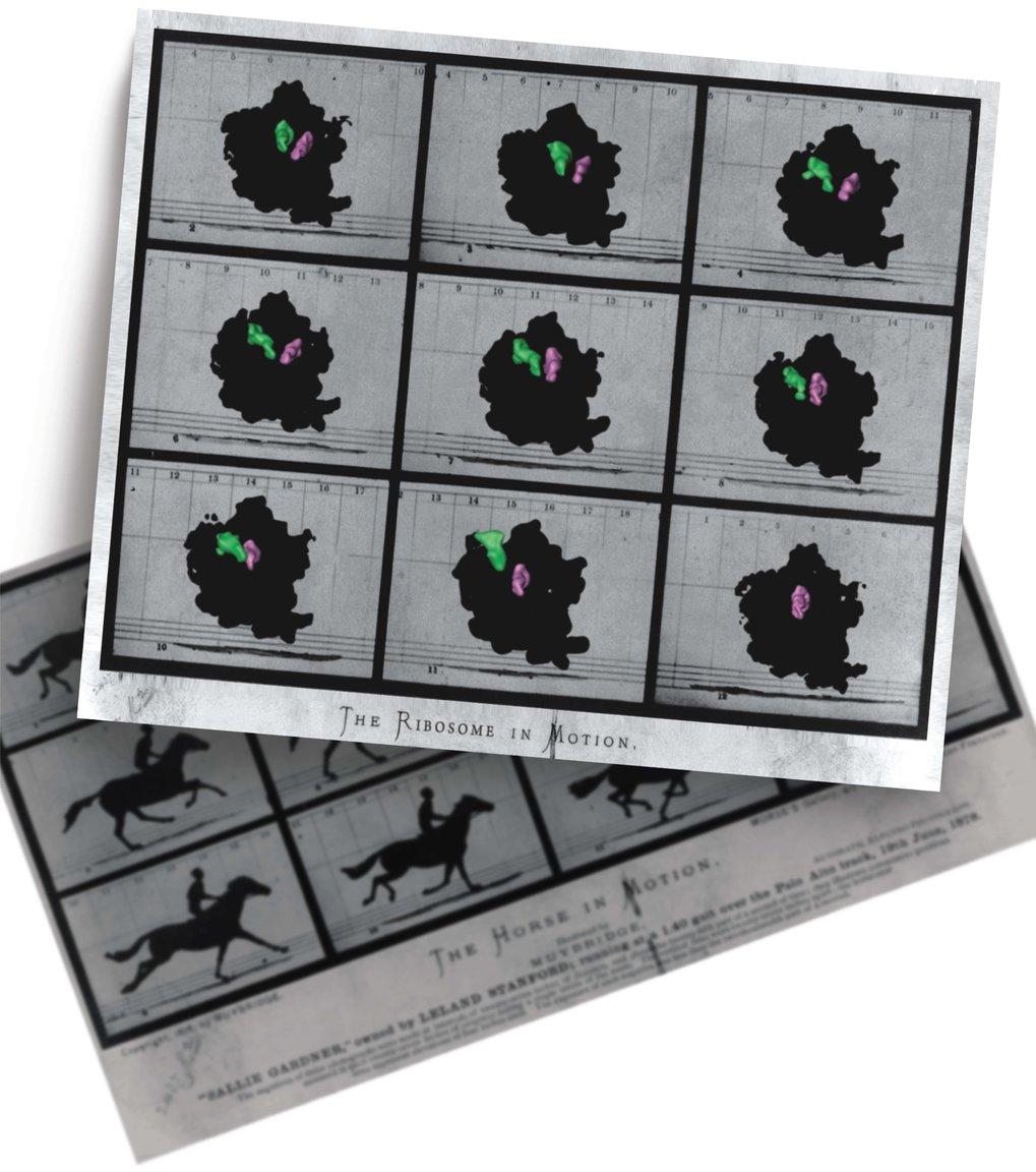 <p><strong>Abb. 3:Dynamik in makromolekularen Komplexen</strong></p> <p>Die Bewegung von tRNAs (grün und magenta) wurde über verschied