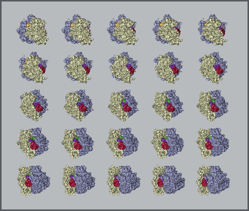 <p><strong>Abb. 2: Makromoleküle in 3D</strong></p> <p>Die Abbildung zeigt verschiedene Ansichten des bakteriellen Ribosoms in einem kontinuierlichen