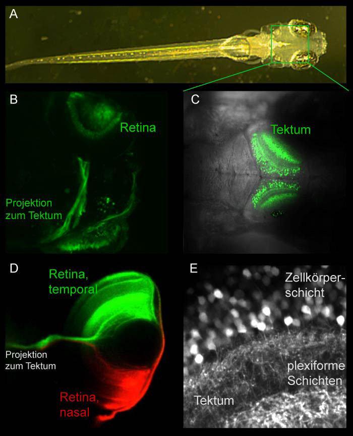 <p><b>Abb. 1: Sehzentren im Zebrabärbling. </b></p> <p>(A) Larve, 7 Tage alt, Länge etwa 4 mm.</p> <p>(B) Grün-fluoreszierendes Protein (GFP) markiert