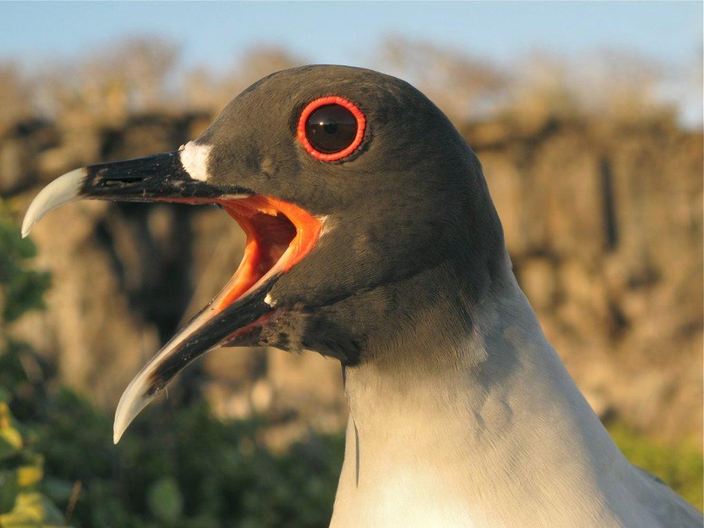 Gabelschwanzmöwen leben auf den Galapagos-Inseln. Sie halten sich tagsüber an ihrem Nest an Land auf. Nachts fliegen sie zum Fischen aufs Meer.