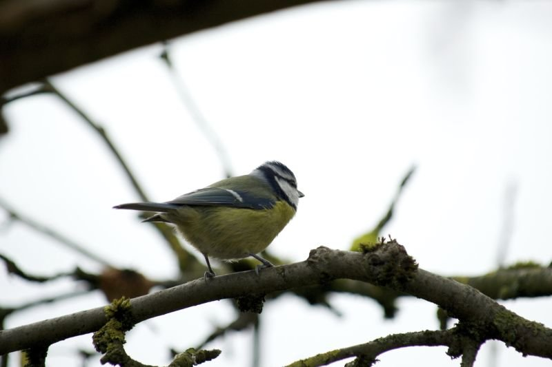 Is the grass maybe greener on the other side? Even though blue tits raise their offspring together in socially monogamous relationships, both females and males are not averse to occasional amorous encounters with other feathered partners.
