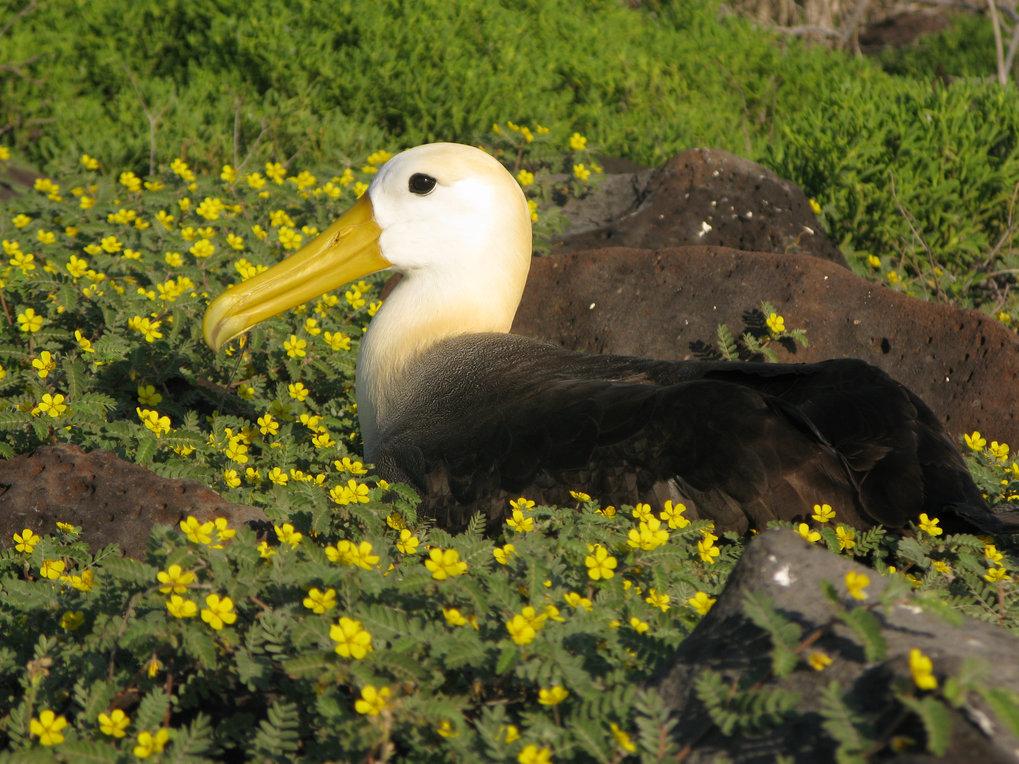 Brütender Galapagos-Albatross (<em>Phoebastria irrorata</em>)