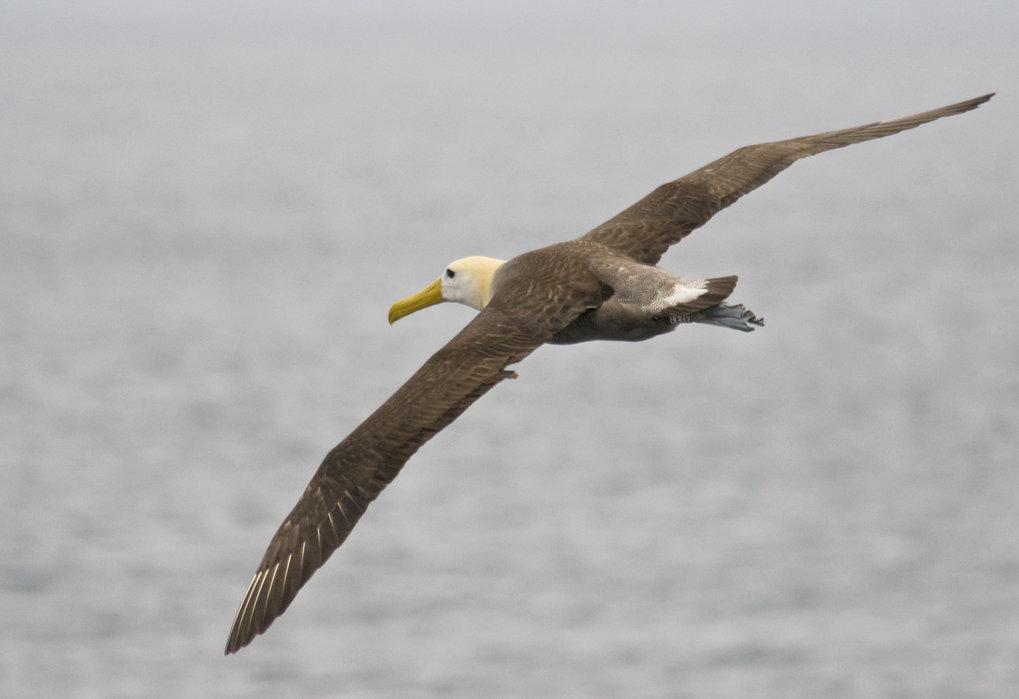 Galapagos-Albatrosse legen auf der Suche nach Nahrung weite Strecken zurück.