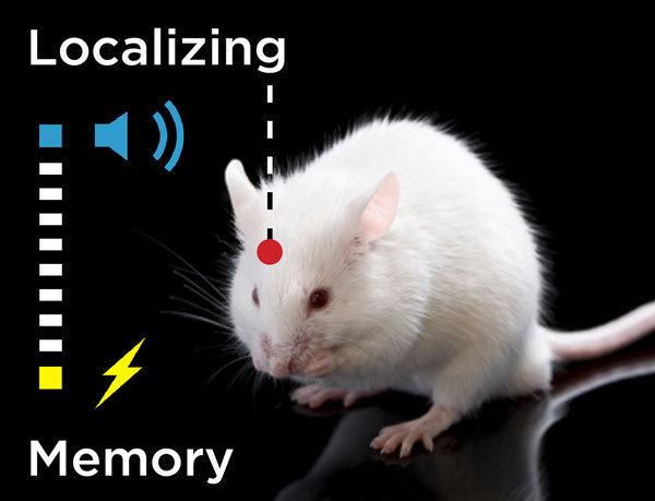 Eine erlernte Verknüpfung von zwei Sinnesreizen (blau: Ton; gelb: Berührung) werden in der Hirnrinde gespeichert.