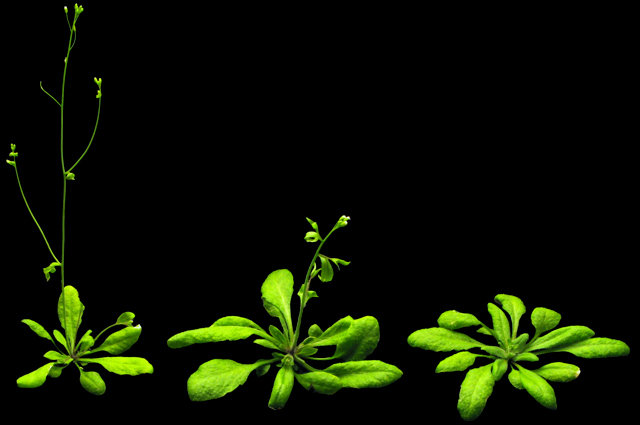 Die Ackerschmalwand <em>Arabidopsis thaliana</em> reguliert ihre Bl&uuml;te je nach Temperatur: links: 27 Grad, Mitte: 23 Grad, rechts: 16 Grad.