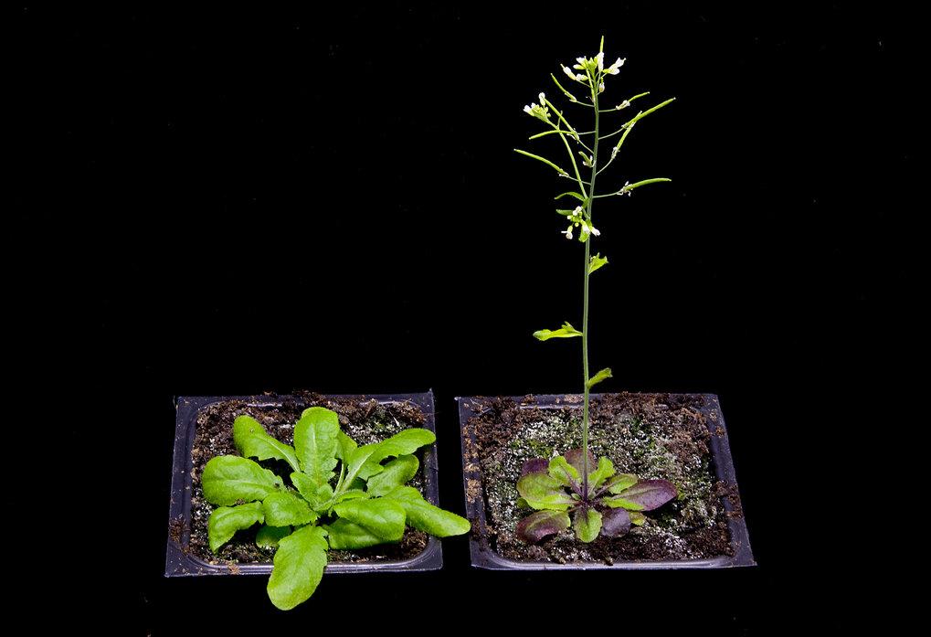 Arabidopsis blüht bei unterschiedlichen Temperaturen zu unterschiedlichen Zeiten (links: 16 Grad, rechts: 23 Grad).