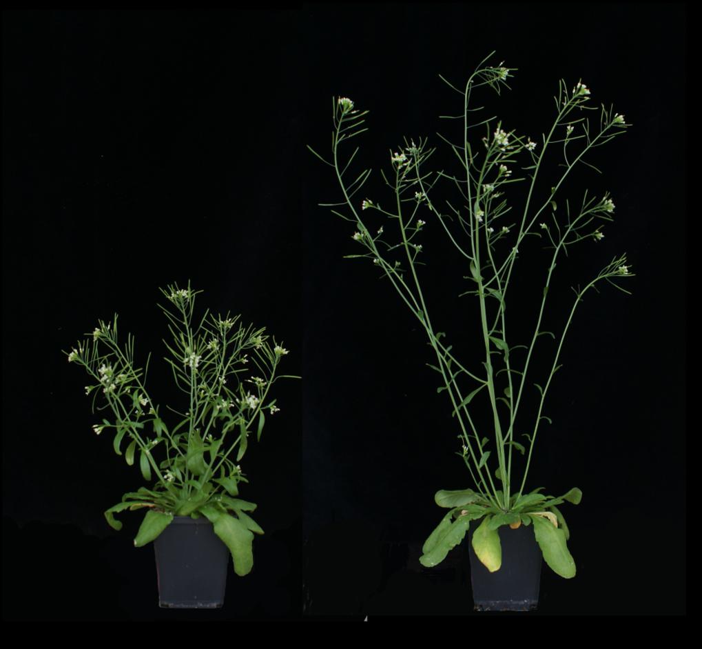 Unterschiedliche Wuchsformen der Ackerschmalwand: Links eine Pflanze mit einer Veränderung im GA20ox1-Gen, rechts eine ohne Mutation.