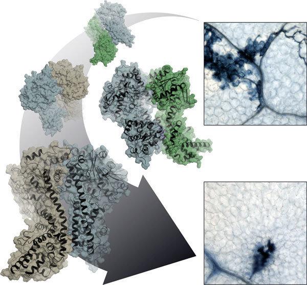 Planzenzellen im Kampf gegen mikrobielle Krankheitserreger: Heterodimere Proteinkomplexe aus EDS1 (blau) sowie SAG101 (grün) oder PAD4 (braun) steuern